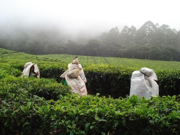 Munnar tea gardens (2)